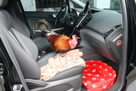 Pet chicken on-board!